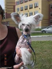 Продается подрощенный щенок китайской хохлатой собаки
